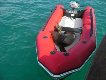 Seal comfortable in the dingy