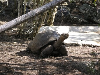 Another big tortoise