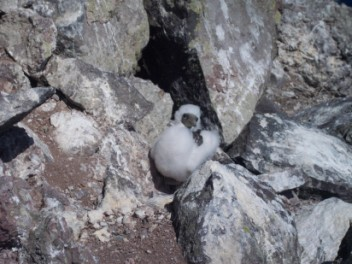 Masked Booby Chick