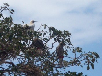 Red Footed Boobies in one of thier many morphs