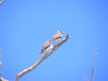 American Kestrel (aka killy killy)