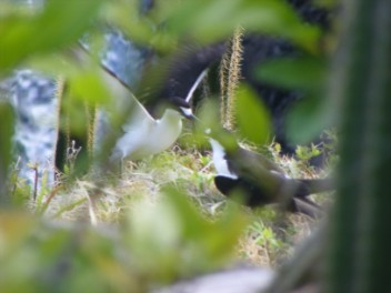 Moor Sooty Terns nesting in the cacti