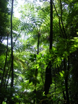 Tree ferns on the tracks in the rainforest