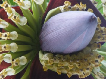 Banana flower, one of the many fruits grown on StV