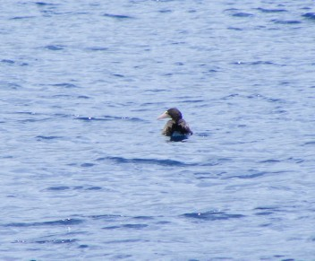 A Brown Booby paddling in sea like a duck
