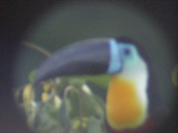 Incredible Toucans in the mist