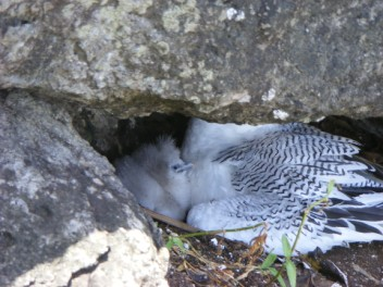 Red-billed Tropicbird chick
