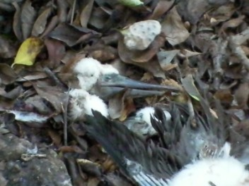 Brown Booby chick remains