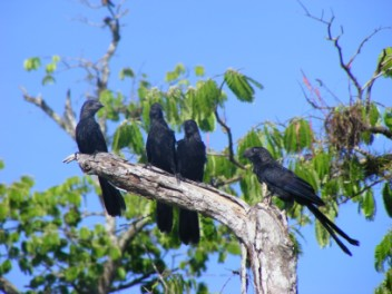 Smooth-billed Ani family