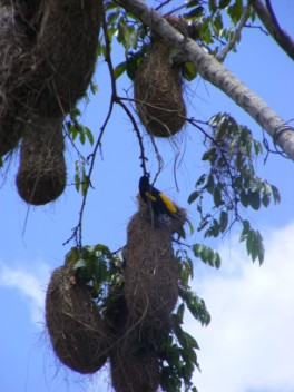 Yellow-rumped Cacique and their nests