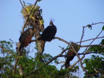 Perhaps it was one of the Hoatzin trio?