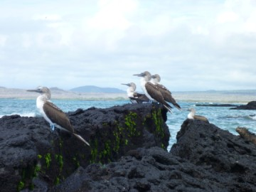 Bluefopted boobies and a marine iguana