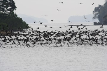 Hoards of cormorants