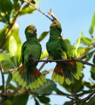 Sam's Yellow Shouldered Amazon Parrot image