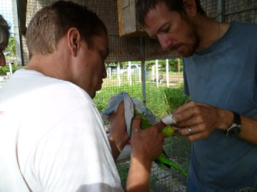 Sam and Dave ringing a soon to be released parrot