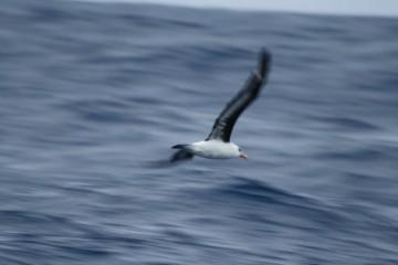 black ewyed albatross a rowdy eater