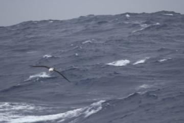 220cm wingspan black eyed albatross amongst waves