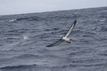 Chatham island albatross, spreading his wings