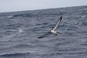 Chatham island albatross, spreading his wings