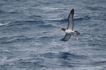 Chatham island albatross coming into land
