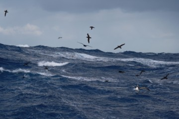 mixed feeding frenzy including bossy bullers alb.