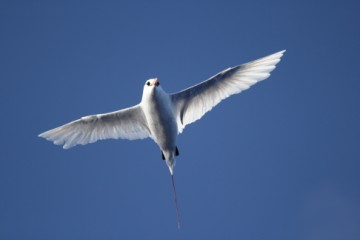 striking red tailed tropicbird