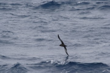Sooty Shearwaters in flight before a dive