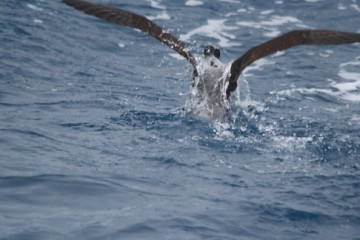 Sooty Shearwater dive up to 60m deep, and get wet