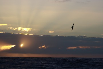 mighty pelagic birds on a mighty sunset
