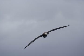 Wandering albatross (New Zealand) charging at us