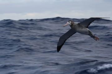 new zealand albatross a consister sentinel. Fine.