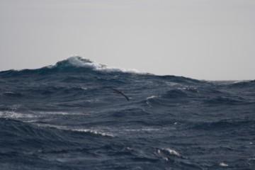 Wandering albtr at 3.5m wingspan makes waves small