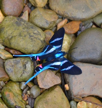 One of the hundreds of stunning forest butterflies