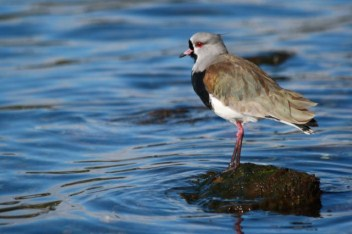 Southern lapwing on the shores of the marina