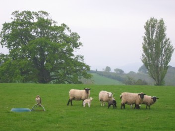 Home, the oak tree, sheep and Elstone